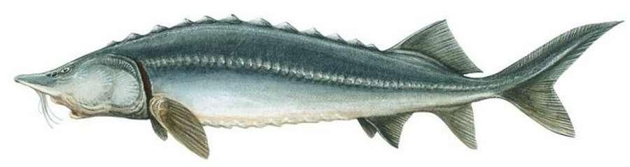 Осетр: рыба осетр фото и описание, нерест, способы ловли, образ жизни, приманки, калорийность осетра, блюда