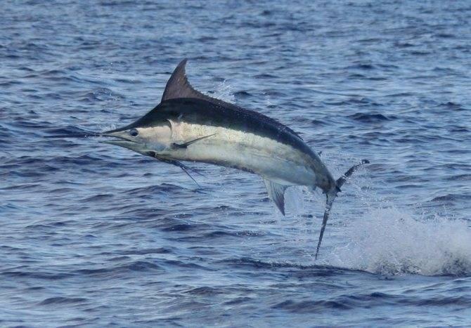 Рыба марлин: описание атлантического голубого, синего и черного вида, поведение в природе, охота на рыбу