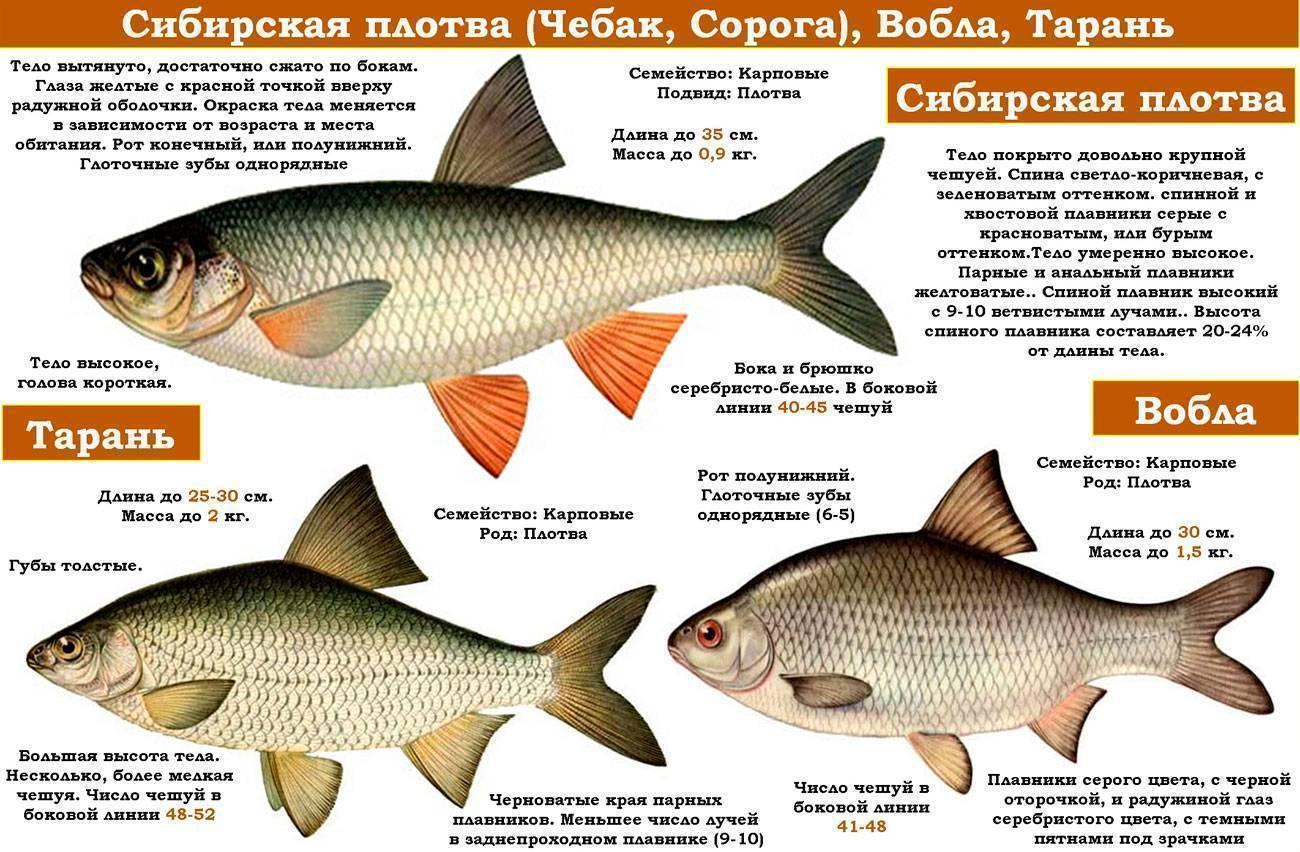 Рыба сиг: фото и описание