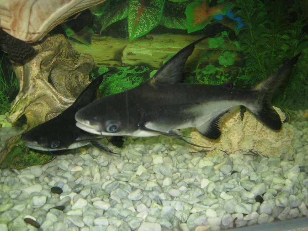 Акулий сомик пангасиус, содержание, разведение, поведение, питание, корм, темпереатура воды