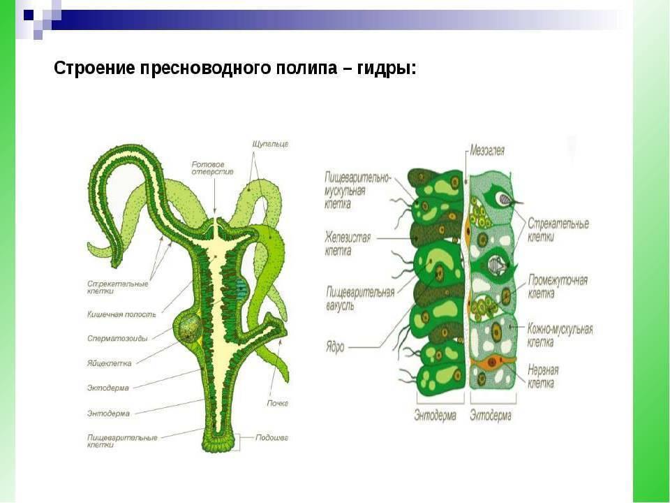 Пресноводная гидра, строение, поступление кислорода, стрекательные, кожно-мускульные клетки, нервная система, половое размножение, процесс почкования, чем питается | tvercult.ru