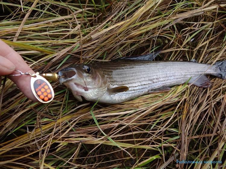 Рыбалка на хариуса на алтае: особенности ловли, подбор снастей, приманки