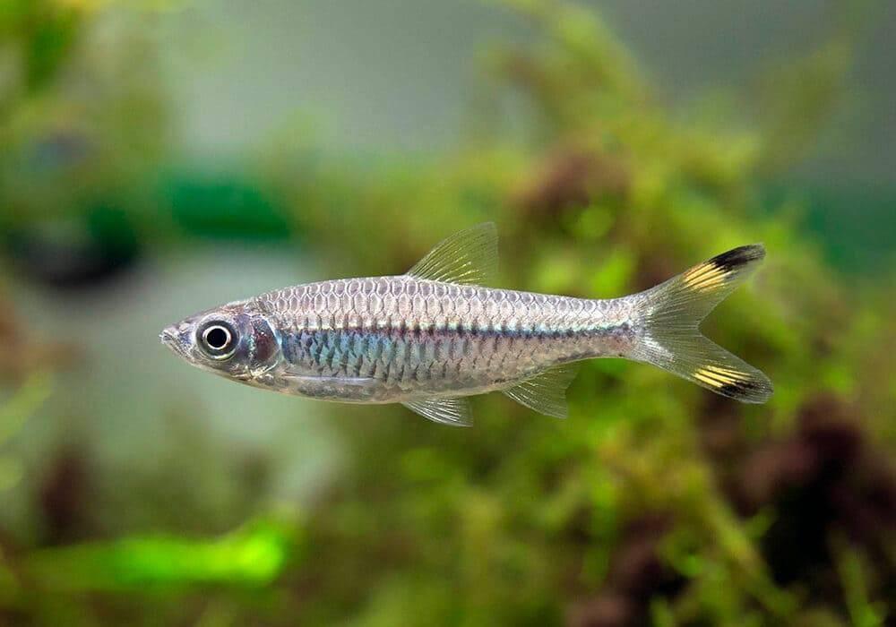 Клинопятнистая расбора – аквариумная рыбка