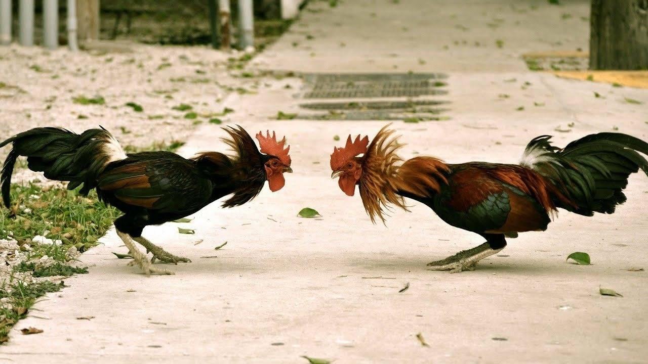 Дакан: описание породы бойцовых петухов и кур куланги и их фото, особенности содержания, выращивания и тренировок