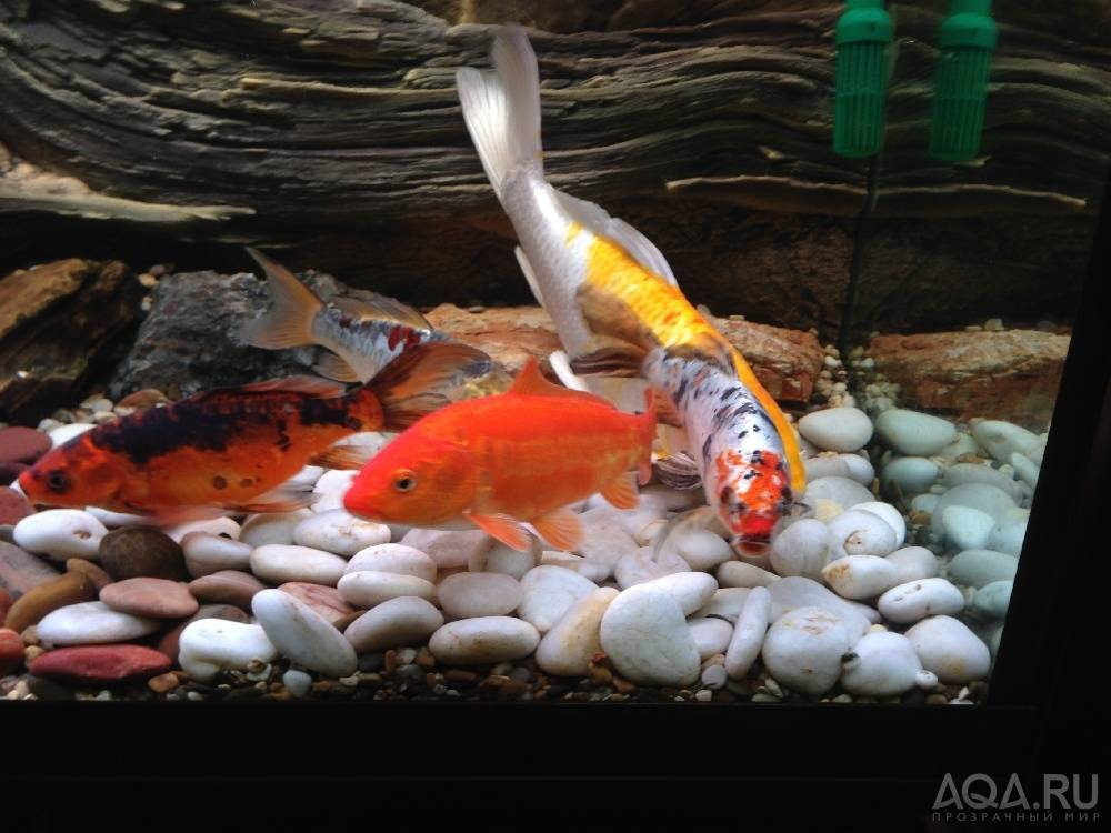 16 видов карпов кои для аквариума