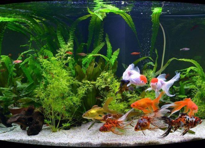 Золотые рыбки, фото, уход за золотой рыбкой, содержание, разведение, кормление