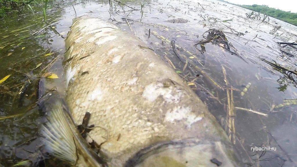 К чему снится мертвая рыба: что об этом говорят сонники Нострадамуса и Миллера. Толкование снов о мертвой рыбе