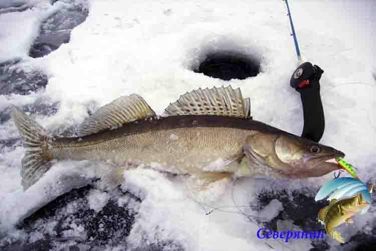Ловля окуня по первому льду разными снастями и приманками ловля окуня по первому льду разными снастями и приманками