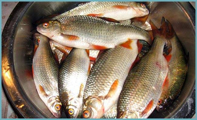 Рыба рипус — описание, среда обитания, особенности и интересные факты. рецепты приготовления рыбы рипус