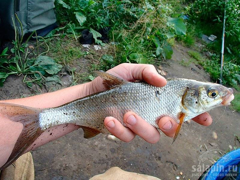 Шамайка что это за рыба | все о рыбалке - где и как ловить рыбу, снасти и приманки