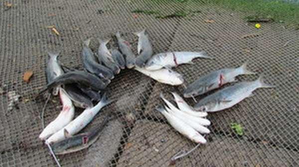 Рыба лобань полезные свойства. рыба лобань - польза и вред. на что ловится лобан? снасти для ловли лобана