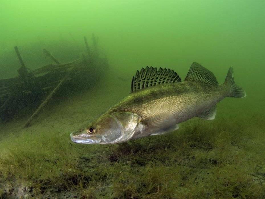 Судак: образ жизни рыбы, ловля, разведение и выращивание