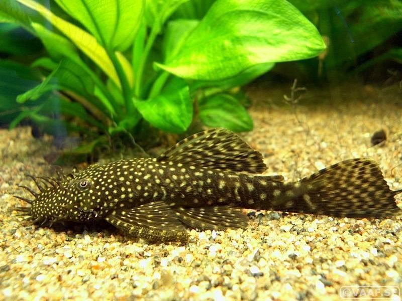 Аквариумные сомики (рыбка в аквариуме): виды (разновидности), названия, содержание, уход, размножение, чем кормить