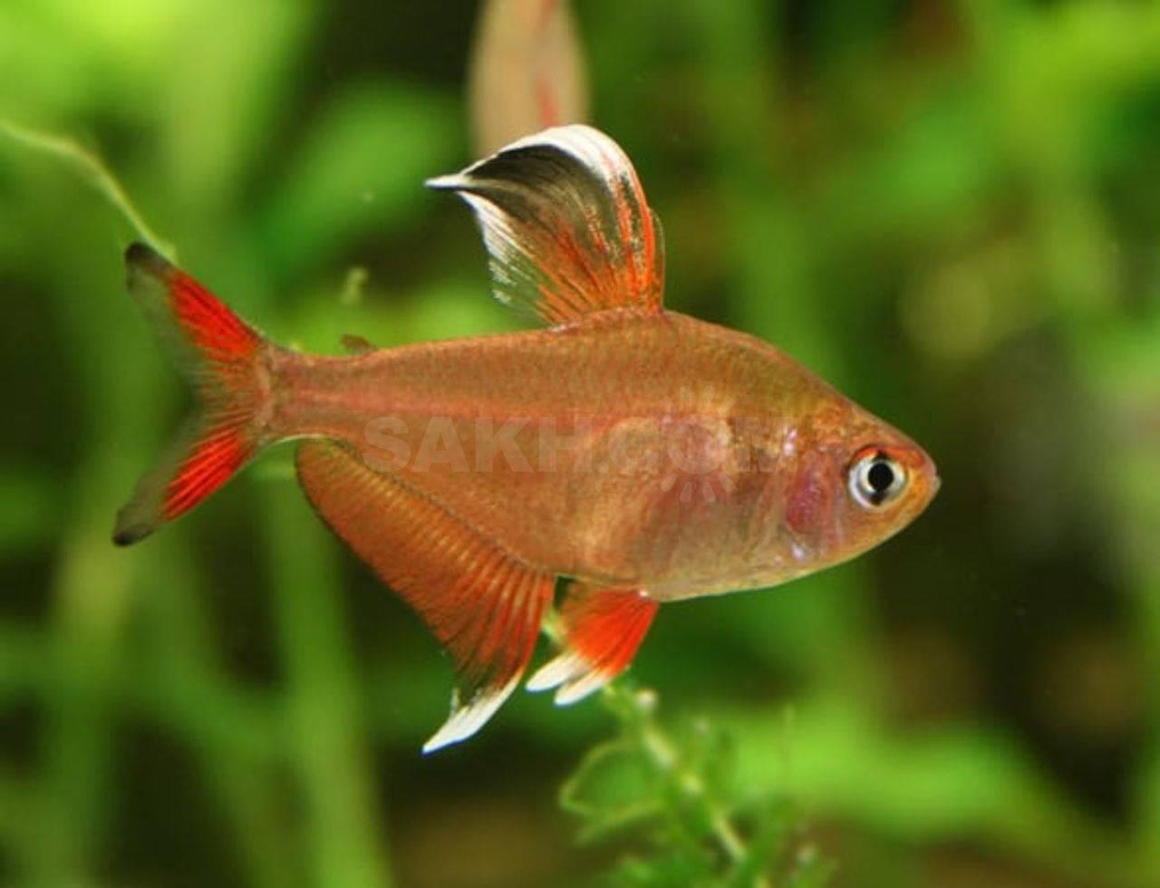 Орнатус красный или фантом красный (hyphessobrycon sweglesi)