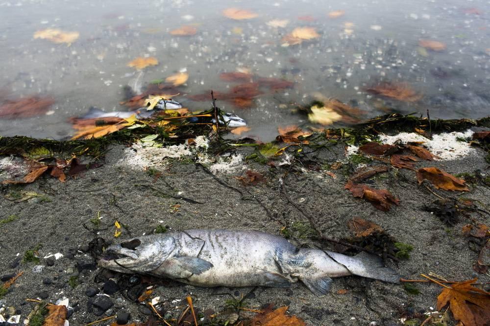 Разведение (выращивание) лосося. факты. история. реальность.