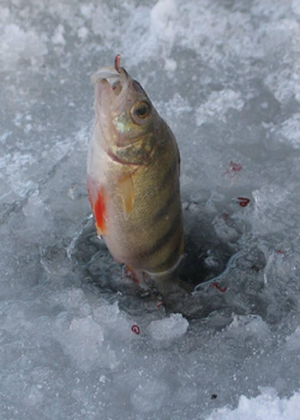 Чебак: где водится, рыбалка по открытой воде, ловля сибирской плотвы зимой