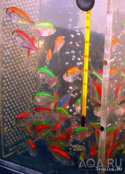 Прозрачные рыбки для аквариума