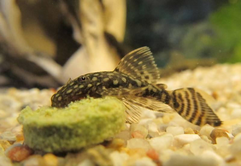 Разведение аквариумных сомиков в домашних условиях: особенности размножения и ухода