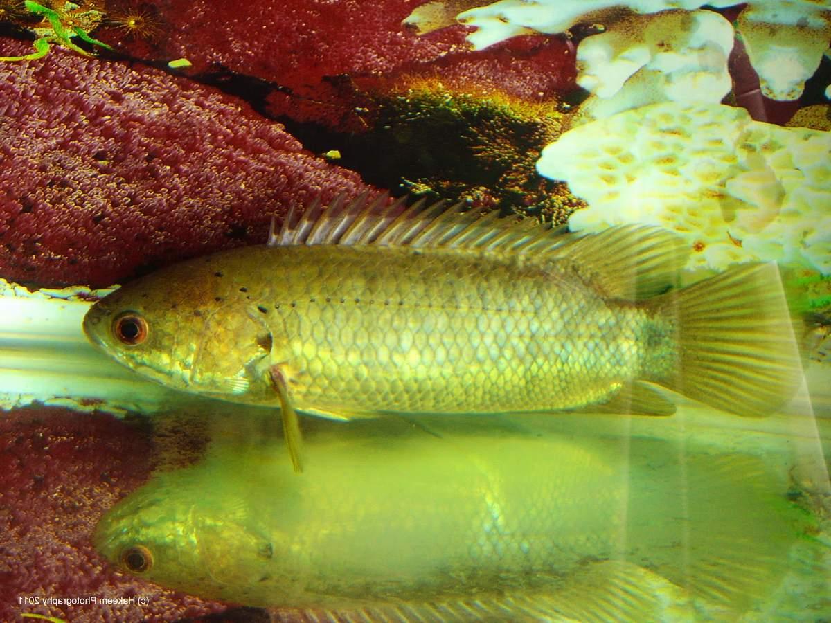 Рыбка гамбузия: содержание и уход, чем кормить, разведение, отличия