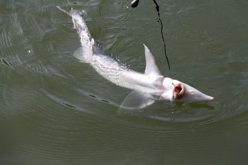 Описание рыбы корюшка, ее фото, среда обитания и размножение