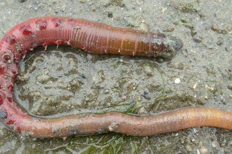 Круглые черви — паразиты человека, способы лечения и профилактика