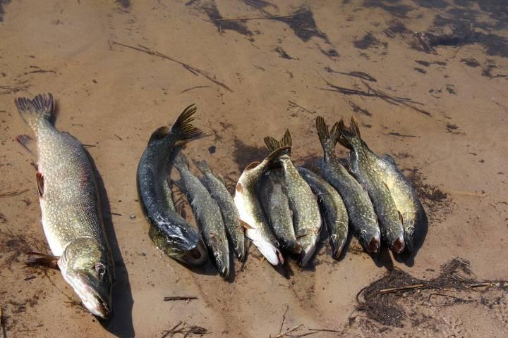 Ильмень и ловать: немного о рыбалке