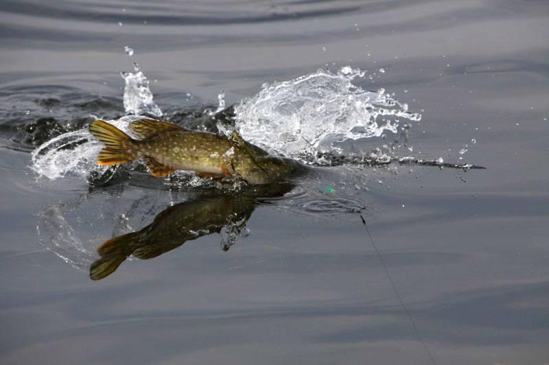 Рыбалка на щуку летом на спиннинг: как и когда правильно ловить в июне, июле, августе