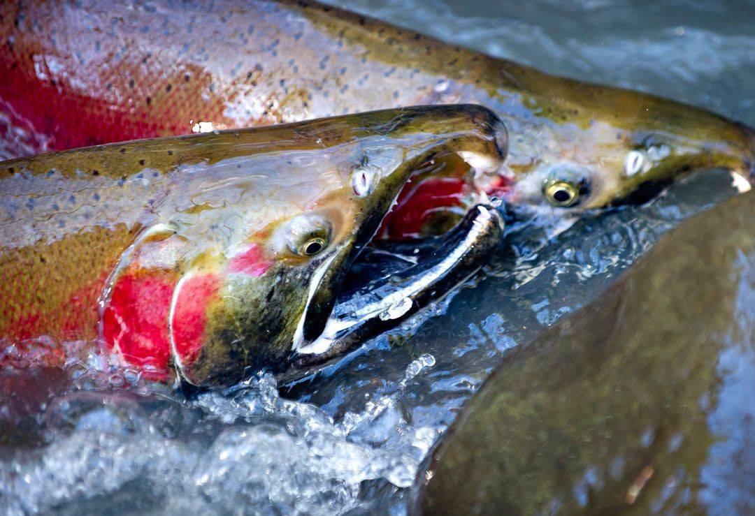 Нерест лосося