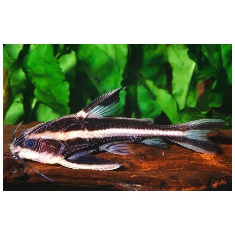 Платидорас (platydoras armatulus)