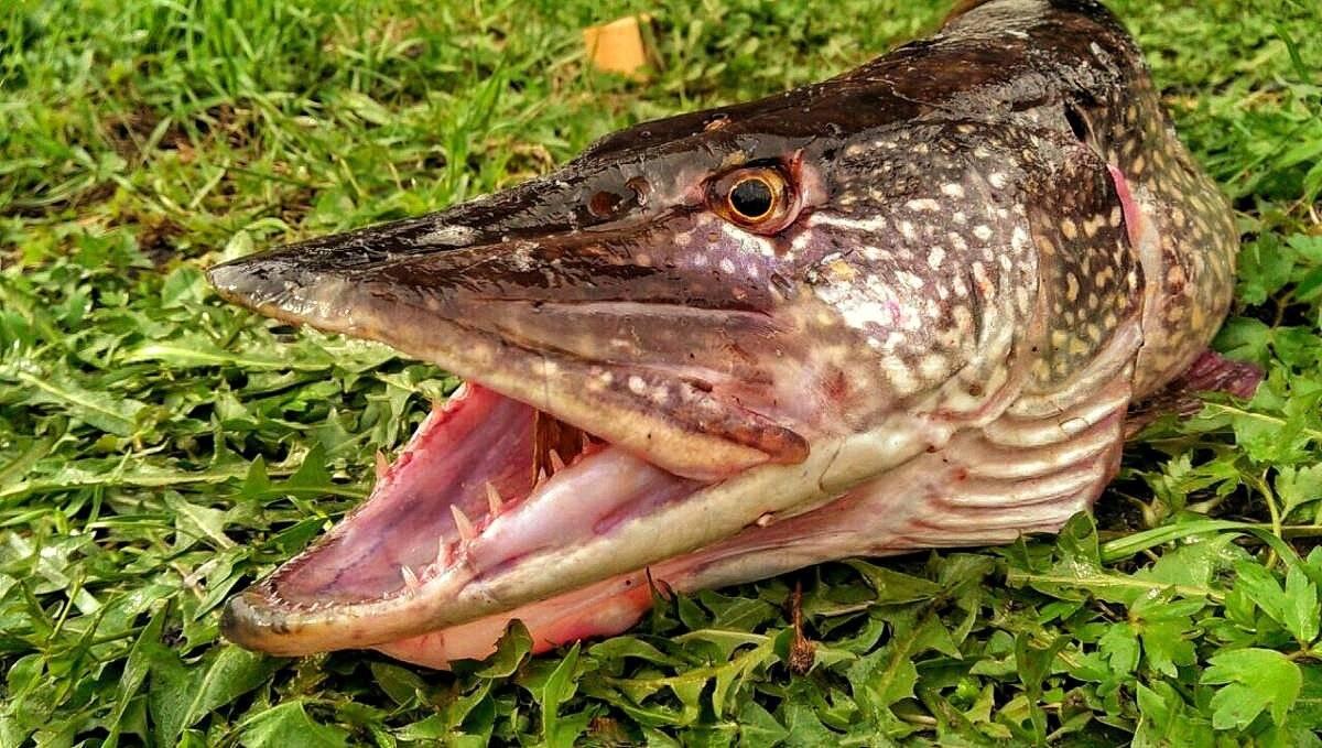 Особенности щучьего зрения: что не видит хищник - статьи о рыбалке