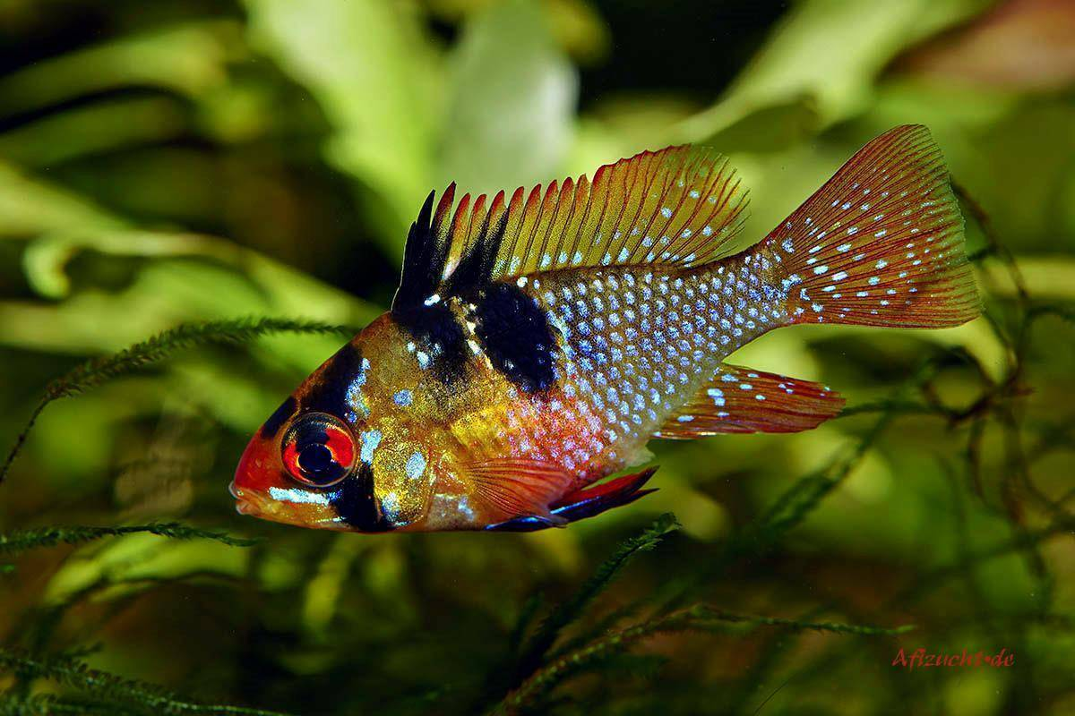 Апистограмма рамирези (бабочка) - содержание, уход, разведение, фото и совместимость аквариумных рыбок   dreamaqua