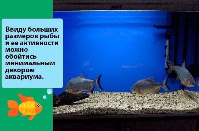 Рыбы паку имеют почти человеческие зубы