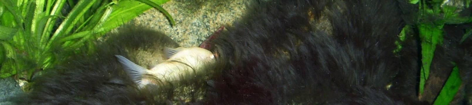 Как избавится от черной бороды в аквариуме