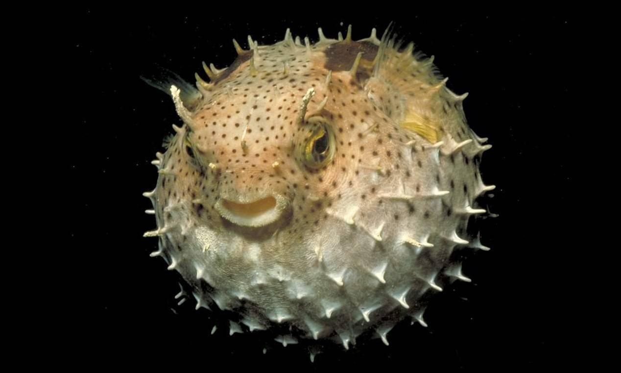 Рыба которая надувается как шар (аквариумная с колючками)