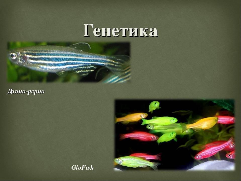 Условия содержания и правила ухода за рыбкой данио рерио
