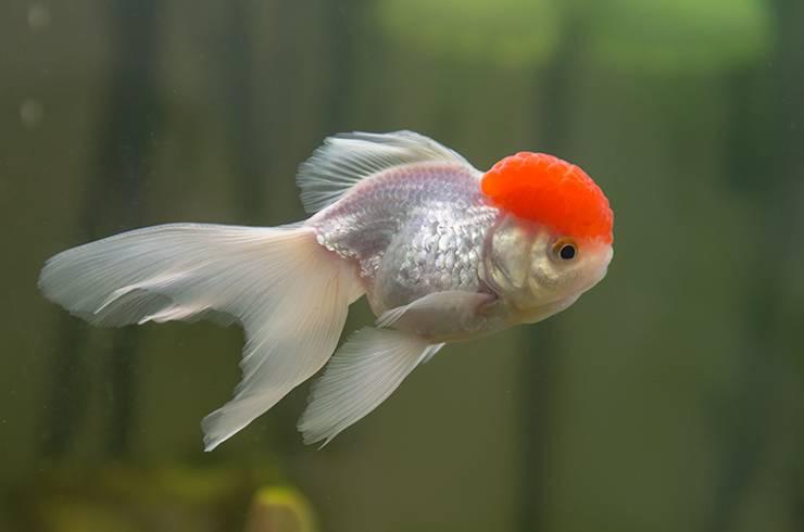 Золотые рыбки: содержание, уход, виды, кормление