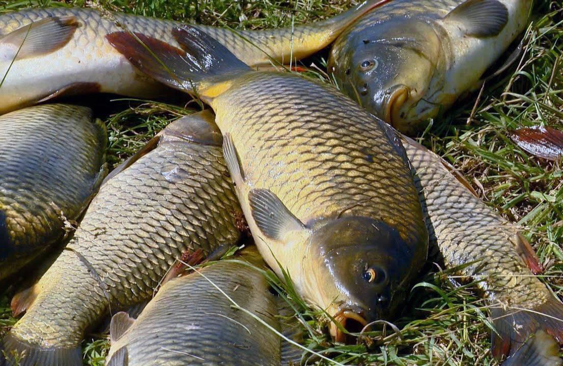 Щука на платнике. стратегия и тактика успешной рыбалки.