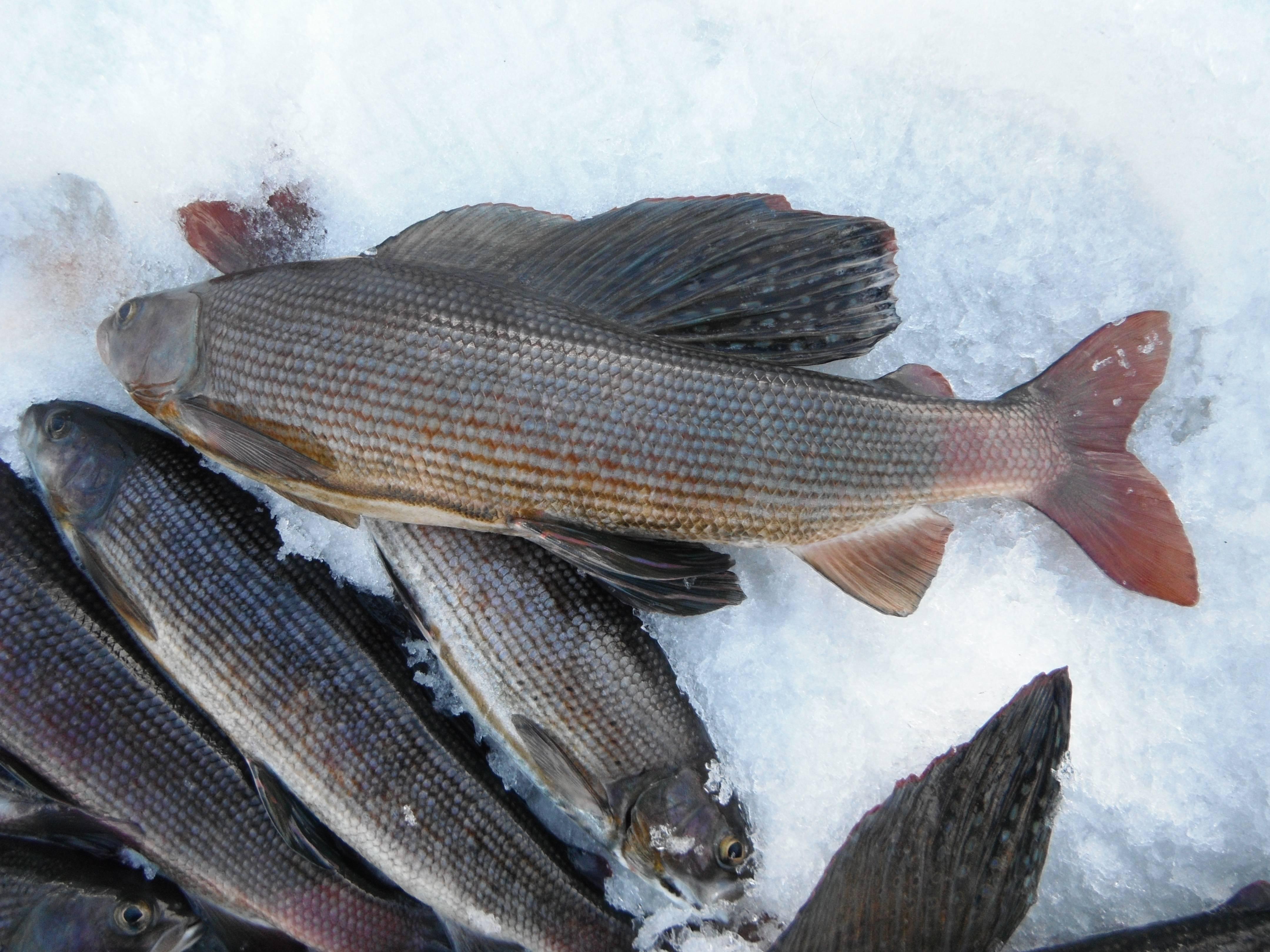Рыбалка в якутии зимой: ловля карася, налима и щуки, особенности рыбалки на тайменя