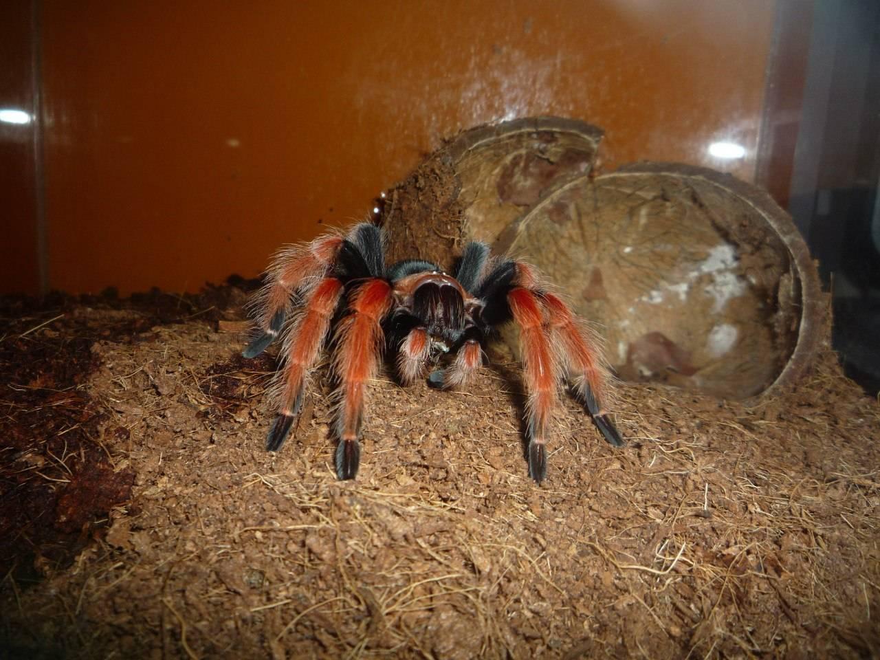 Содержание пауков-птицеедов в домашнем террариуме | мир животных и растений