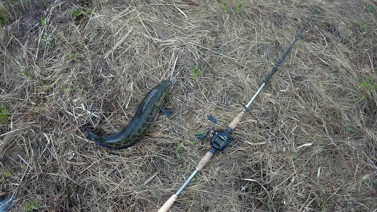 Снасти для ловли змееголова