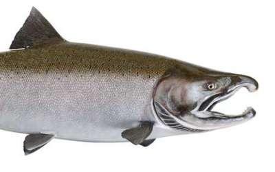 Сибас: что за рыба, где водится, описание, фото, польза, как приготовить