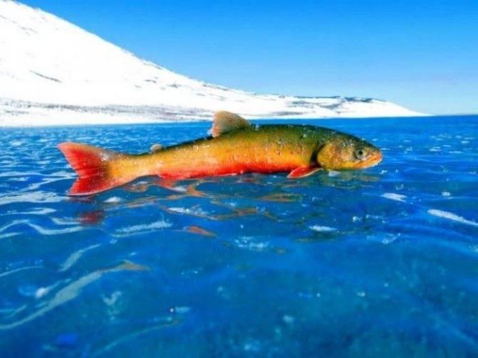 Рыба голец: полезные свойства и способы приготовления