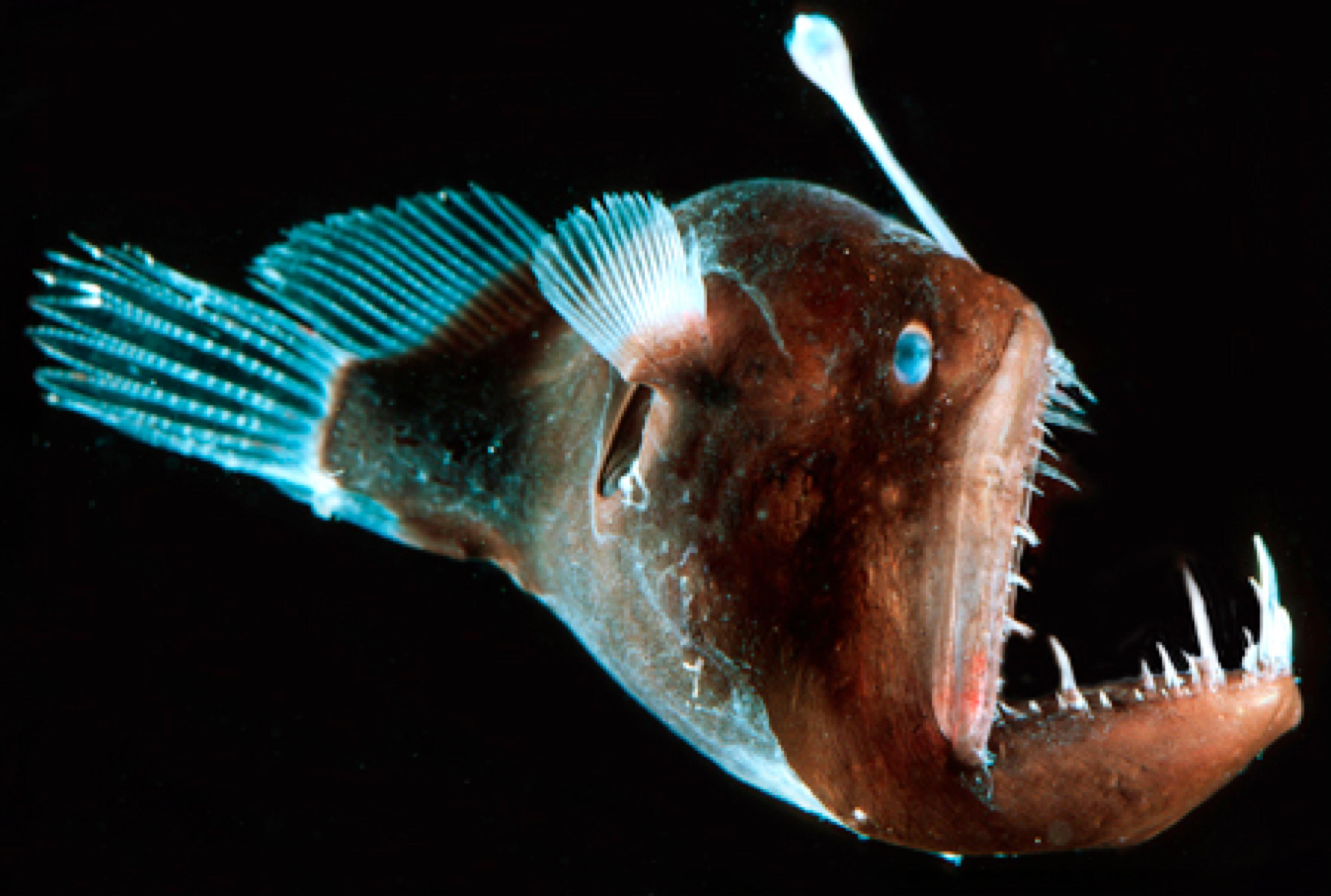 Морской чёрт: как выглядит, где живёт и чем питается