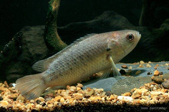 Анабас или рыба-ползун (лат. Anabas testudineus)