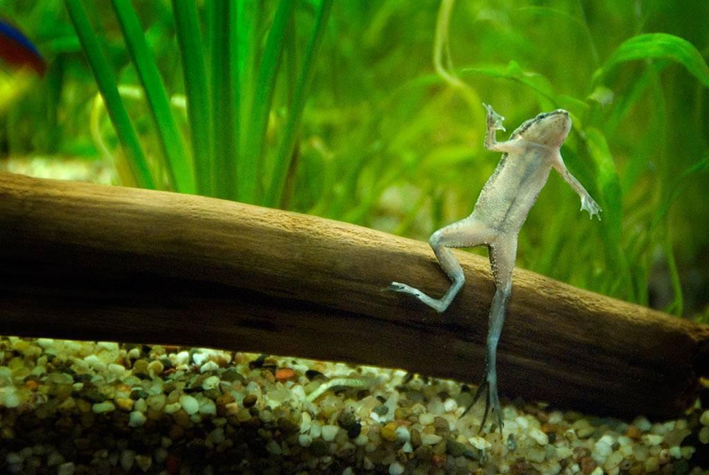 Можно ли поселить лягушку с аквариумными рыбками
