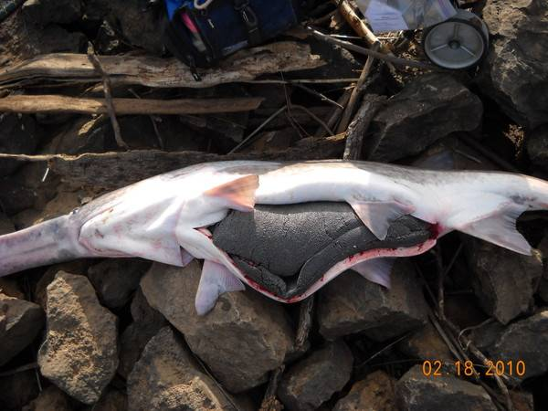 Вислоносая рыба осетровая — ловись рыбка