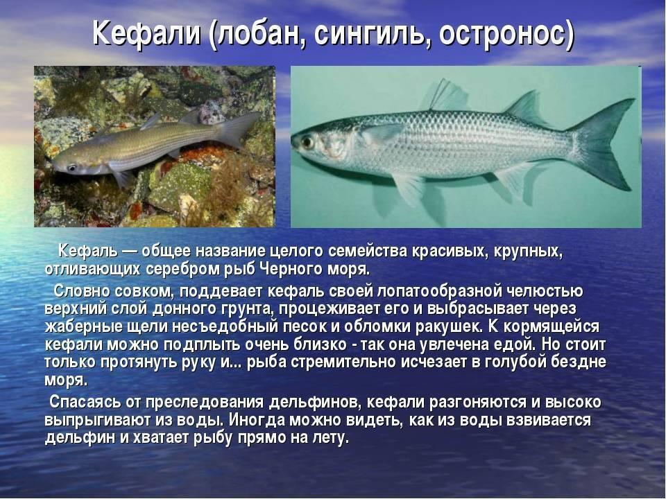 Черная кефаль или лобань: что за рыба, где водится, польза и вред