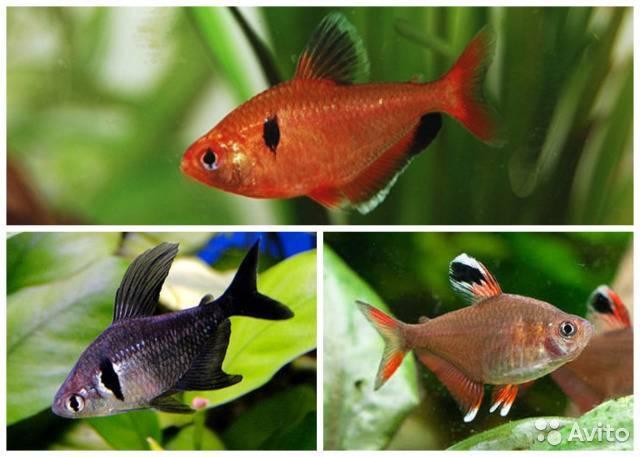 Орнатус: описание, содержание аквариумных рыбок, размножение