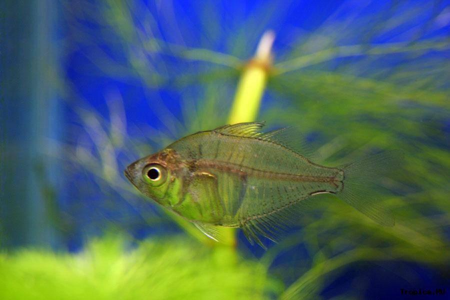 Стеклянный окунь аквариумная рыбка содержание и совместимость. окунь стеклянный — аквариумная рыбка