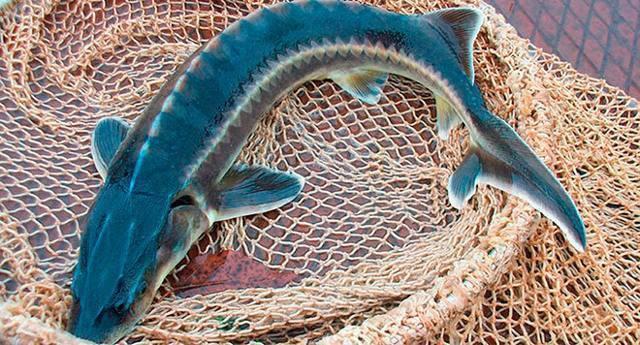 На что ловить осетра: особенности рыбалки, на какие приманки клюет